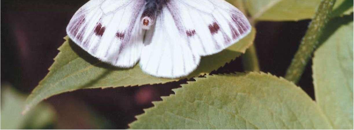 пчела андрена фото